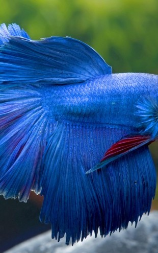 PHOTOWALL / Siamese Fighting Fish (e23244)