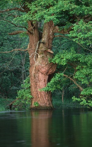 PHOTOWALL / Oak Flooded by River (e23516)