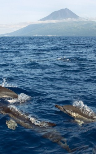 PHOTOWALL / Dolphins in the Azores (e23522)