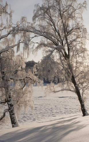 PHOTOWALL / Snow-Covered Silver Birches (e23612)