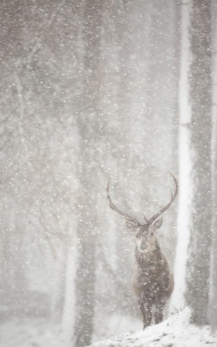 PHOTOWALL / Red Deer in Heavy Snowfall (e23616)