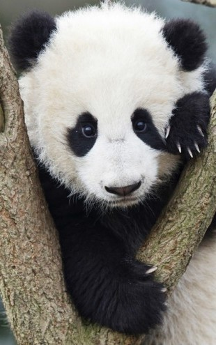 PHOTOWALL / Giant Panda Cub (e23665)