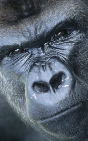 PHOTOWALL / Gorilla Portrait (e23792)