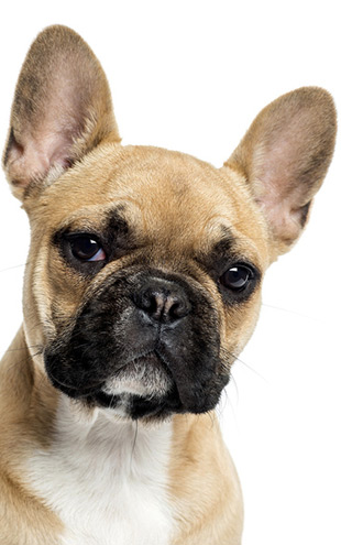 PHOTOWALL / Portrait of a French Bulldog (e23874)