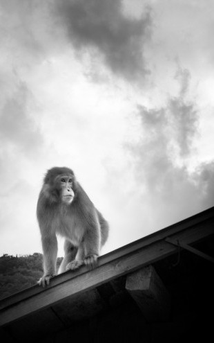 PHOTOWALL / Macaque on Roof (e24068)