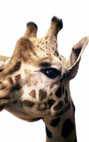 PHOTOWALL / Portrait of a Giraffe (e24075)