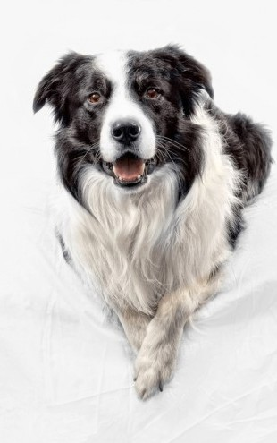 PHOTOWALL / Border Collie (e24076)