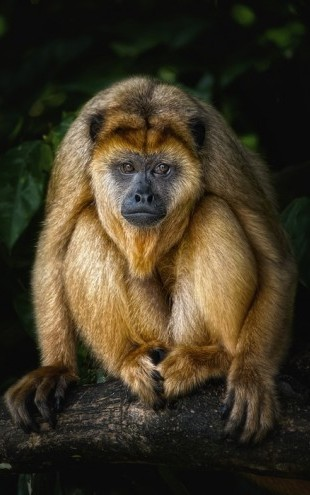 PHOTOWALL / Golden Monkey (e24133)