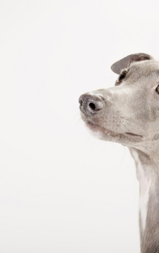 PHOTOWALL / Whippet (e24139)