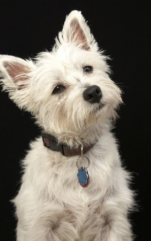 PHOTOWALL / West Highland Terrier (e24351)
