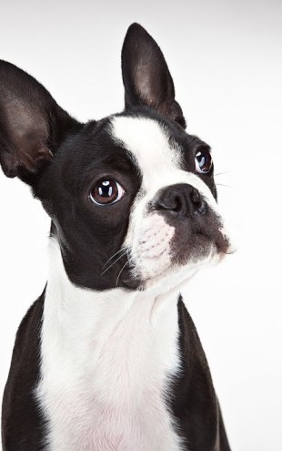 PHOTOWALL / Boston Terrier (e24353)