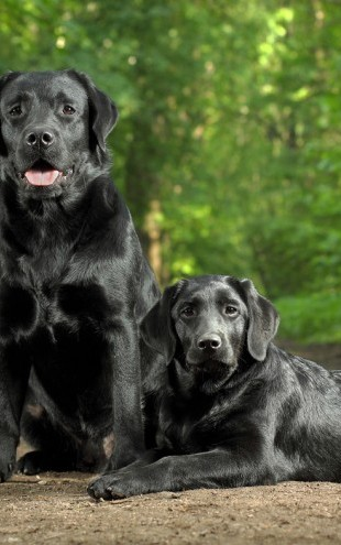 PHOTOWALL / Two Black Labradors (e24355)