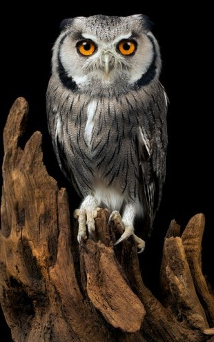 PHOTOWALL / White Faced Owl (e24368)