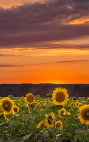 PHOTOWALL / Sunset over Sunflowers (e24310)