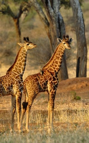 PHOTOWALL / Young Giraffes at Sunset (e24537)
