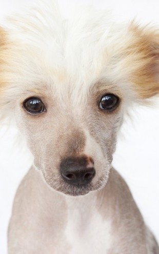 PHOTOWALL / Hairless Chinese Crested Puppy (e24547)