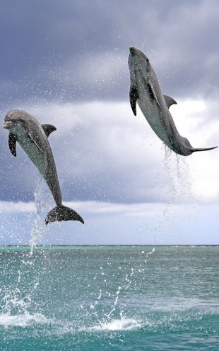 PHOTOWALL / Jumping Dolphins (e24550)