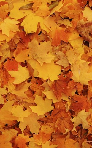 PHOTOWALL / Bed of Autumn Maple Leaves (e24602)