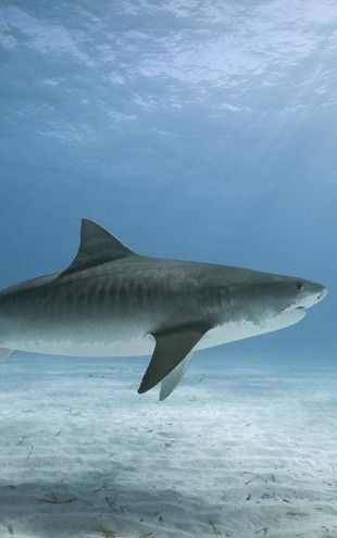 PHOTOWALL / Tiger Shark (e24631)