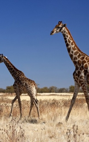 PHOTOWALL / Giraffes at Etosha National Park (e24638)