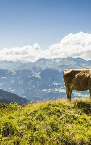 PHOTOWALL / Cow Grazing on Grassy Hillside (e24640)