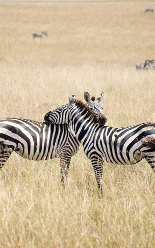 PHOTOWALL / Zebra Embrace (e24649)