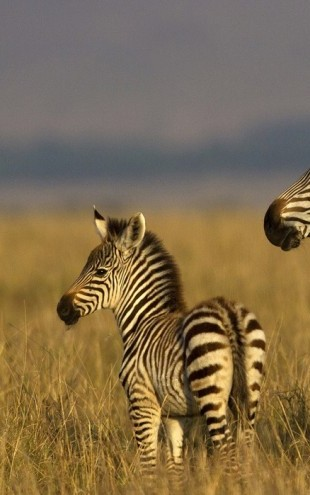 PHOTOWALL / Zebra with Foal (e24650)