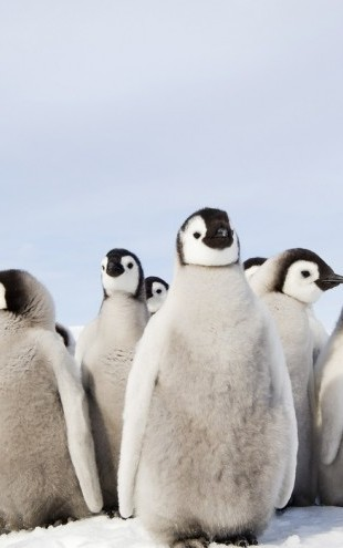 PHOTOWALL / Group of Emperor Penguin Chicks (e24653)
