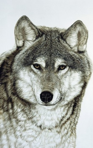 PHOTOWALL / Grey Wolf (e23420)