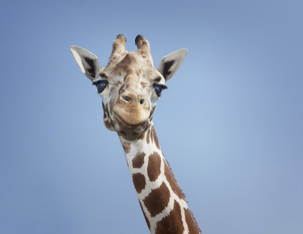 PHOTOWALL / Tallest Giraffe (e24729)