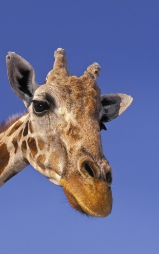 PHOTOWALL / Portait of Masai Giraffe (e24748)