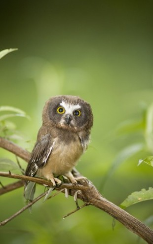 PHOTOWALL / Northern Sawwhet Owl (e24753)