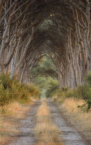 PHOTOWALL / Track lined with Pine Trees (e29412)