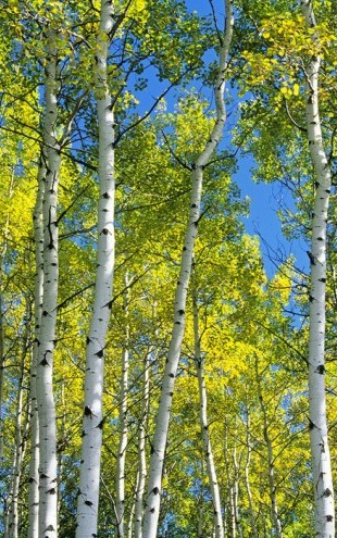 PHOTOWALL / Trembling Aspen Trees (e40397)