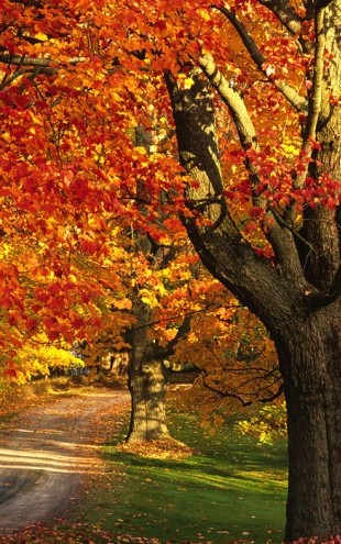 PHOTOWALL / Golden Maple Tree (e40383)