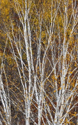 PHOTOWALL / Silver Birch Hillside (e40385)