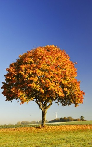 PHOTOWALL / Majestic Maple Tree (e40407)