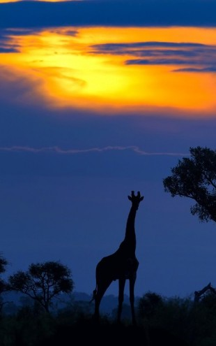 PHOTOWALL / A Giraffe at Sunset (e29447)