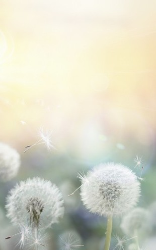 PHOTOWALL / Dandelion Dreams (e25478)