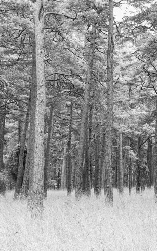 PHOTOWALL / Pine Forest (e25542)