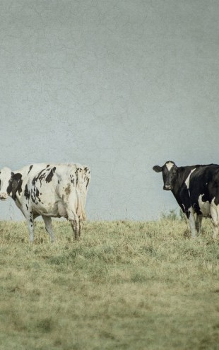 PHOTOWALL / Grazing Cows (e25645)