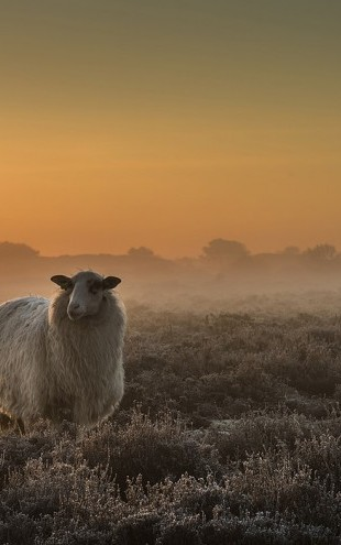 PHOTOWALL / Sheep in the Mist (e29684)