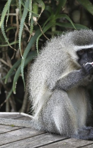 PHOTOWALL / South African Vervet Monkey (e29779)