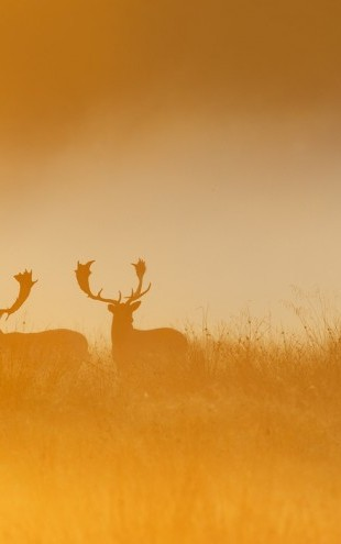PHOTOWALL / Deers in Yellow Light (e40454)