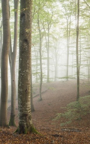 PHOTOWALL / Swedish Beech Forest I (e40487)