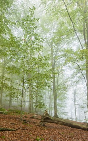 PHOTOWALL / Swedish Beech Forest III (e40489)