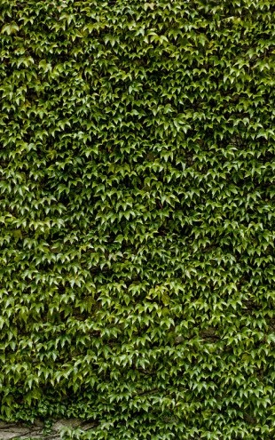 PHOTOWALL / Wild Ivy Wall (e30589)