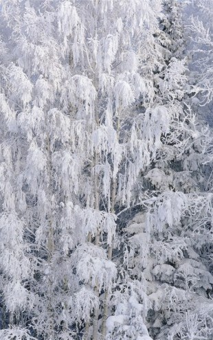PHOTOWALL / Ice Trees of Salem (e40817)