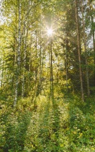 PHOTOWALL / Sunlit Deciduous Trees, Finland (e30841)