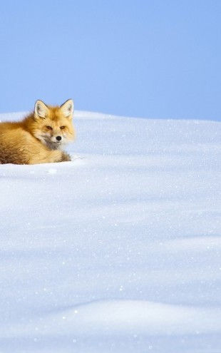PHOTOWALL / A Red Fox Waking up, Yellowstone National Park (e31085)